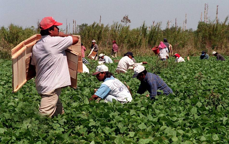 Migrant workers in green bean fields in Homestead